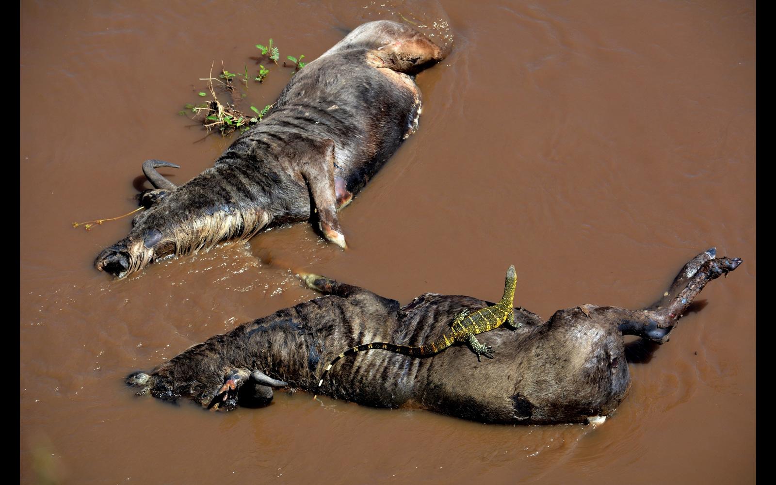 Gabriella-Kiss-dead-wildebeest-with-monitor-Maasai-Mara